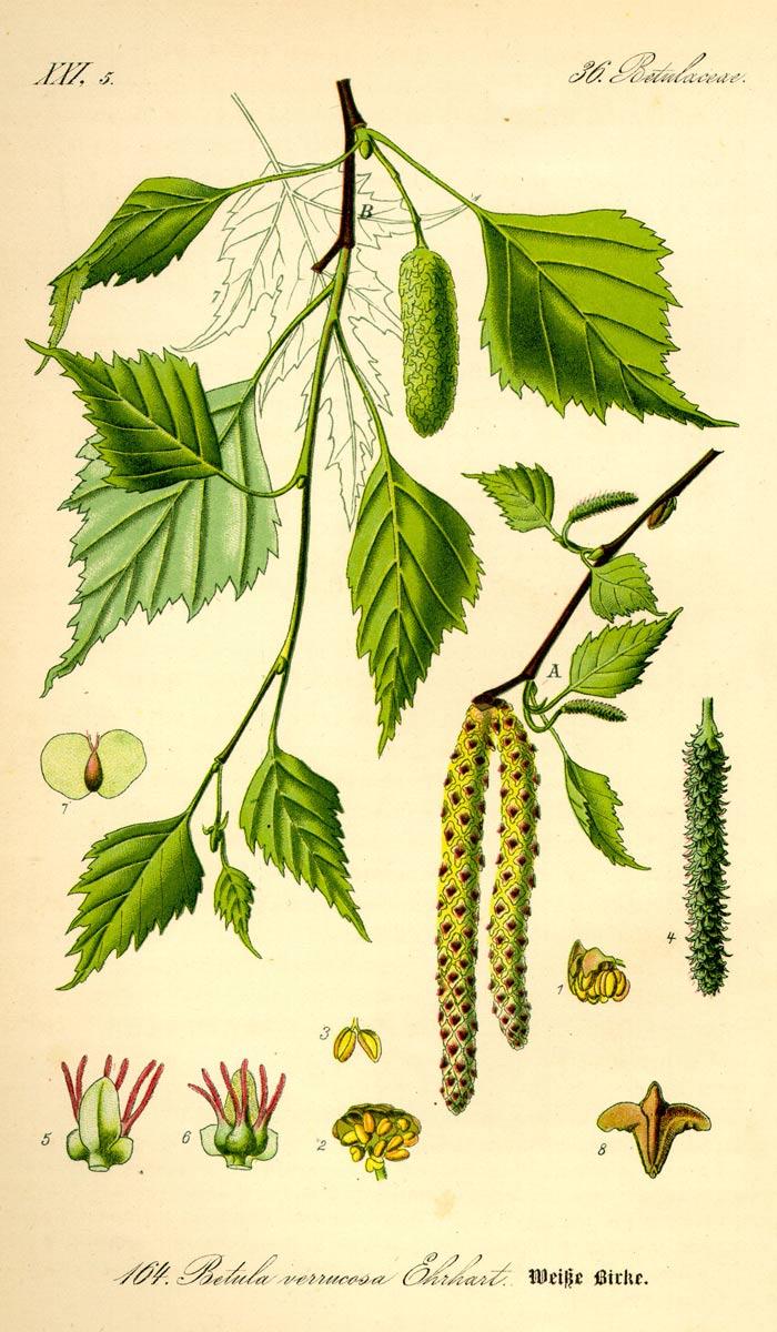 betula-pendula-11.jpg