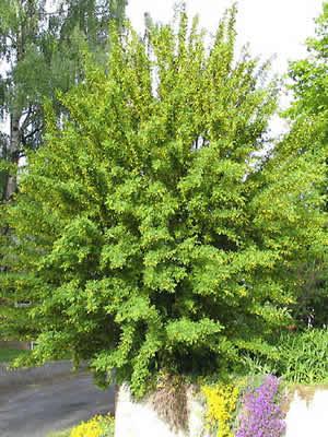 caragana-arborescens-02.jpg