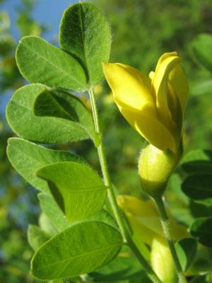 caragana-arborescens-03.jpg