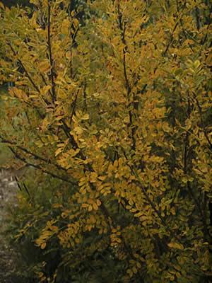 caragana-arborescens-05.jpg