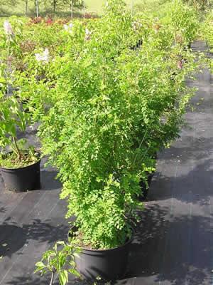 caragana-arborescens-06.jpg