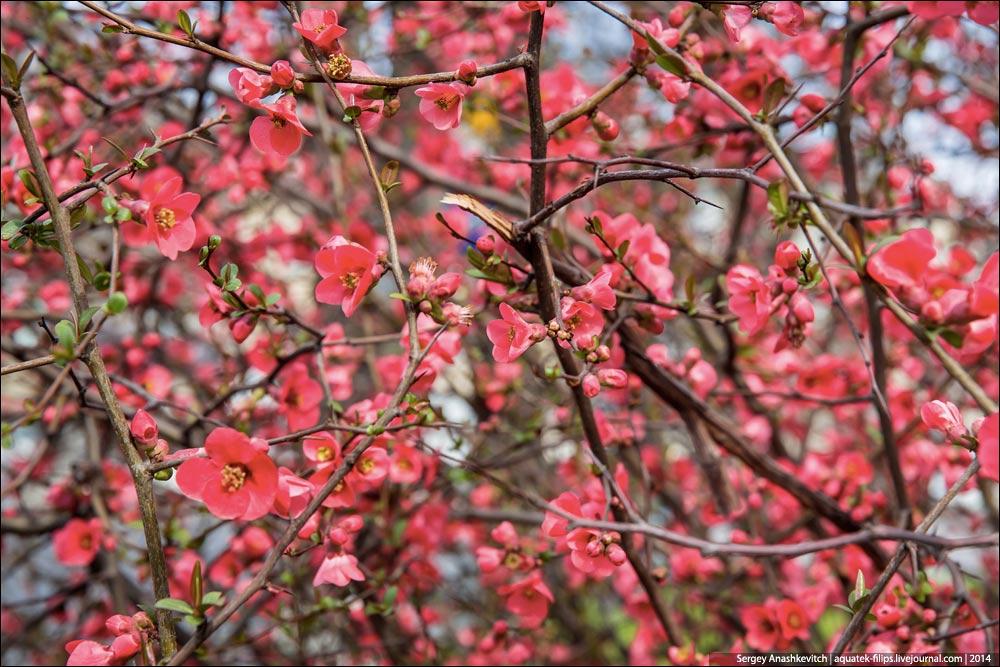 chaenomeles-japonica-09.jpg