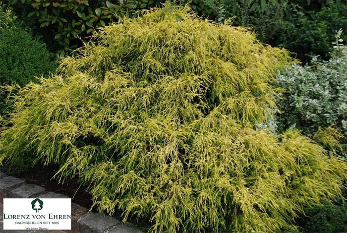 chamaecyparis-pisifera-filifera-aurea-nana-01.jpg