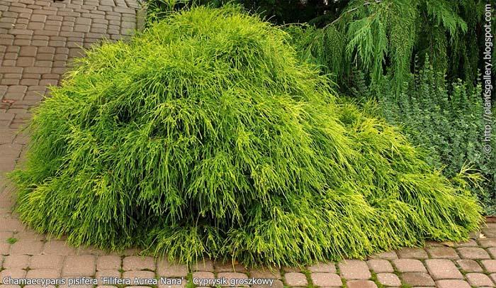 chamaecyparis-pisifera-filifera-aurea-nana-06.jpg