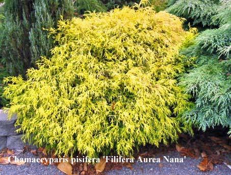 chamaecyparis-pisifera-filifera-aurea-nana-07.jpg
