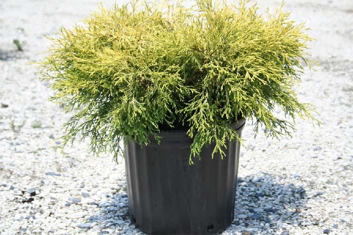 chamaecyparis-pisifera-filifera-aurea-nana-09.jpg