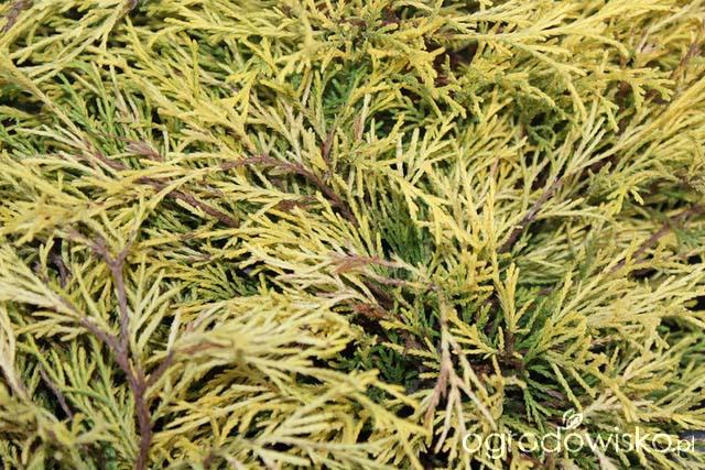chamaecyparis-pisifera-filifera-aurea-nana-10.jpg