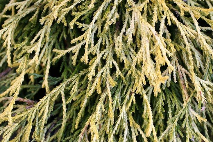 chamaecyparis-pisifera-filifera-aurea-nana-11.jpg