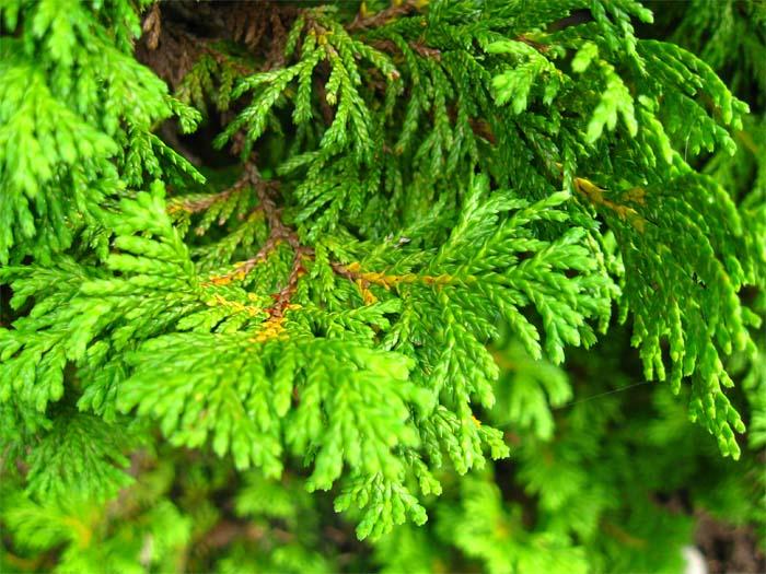 chamaecyparis-pisifera-plumosa-aurea-02.jpg