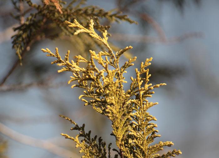 chamaecyparis-pisifera-plumosa-aurea-04.jpg