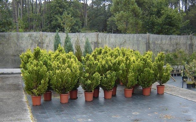 chamaecyparis-pisifera-plumosa-aurea-05.jpg
