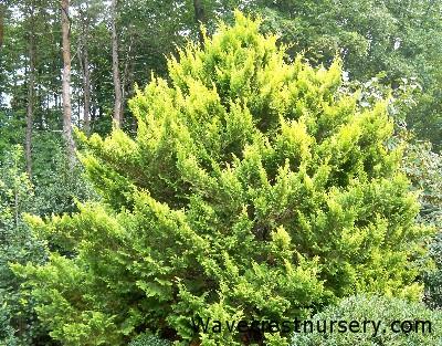 chamaecyparis-pisifera-plumosa-aurea-06.jpg