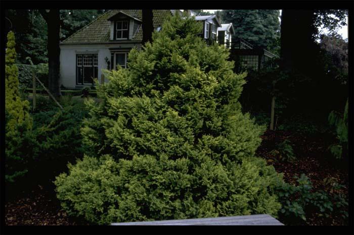 chamaecyparis-pisifera-plumosa-aurea-07.jpg