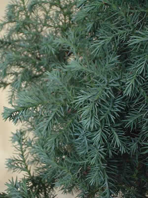chamaecyparis-pisifera-squarrosa-02.jpg