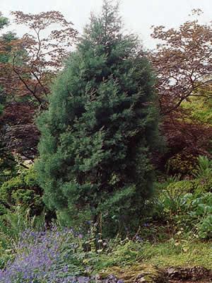 chamaecyparis-pisifera-squarrosa-03.jpg