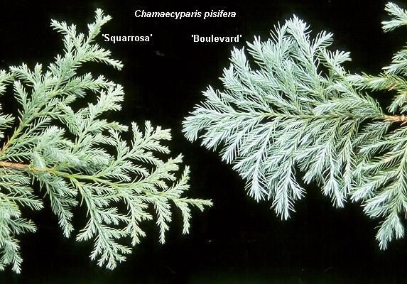 chamaecyparis-pisifera-squarrosa-06.jpg