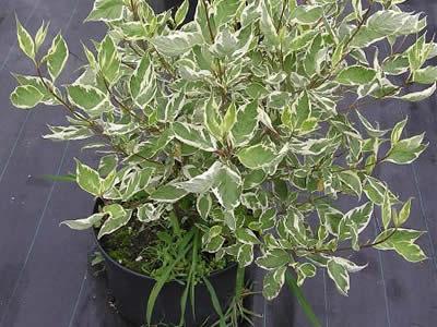 cornus-alba-argenteo-marginata-05.jpg