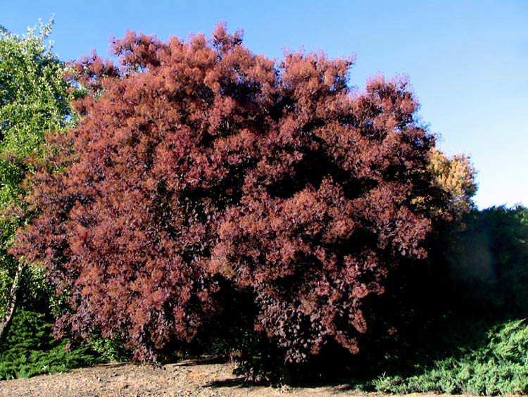 cotinus-royalpurple-01.jpg