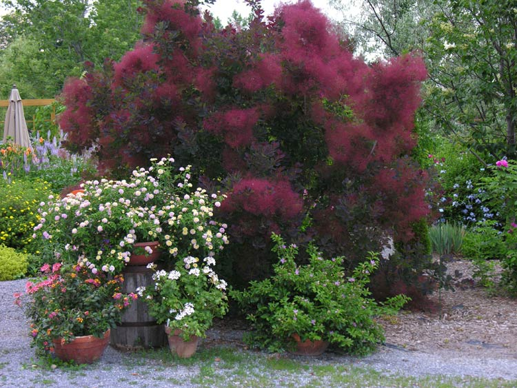 cotinus-royalpurple-02.jpg