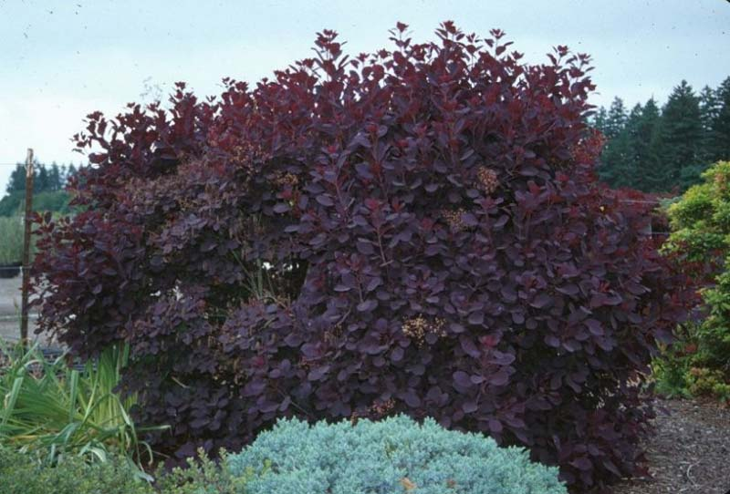 cotinus-royalpurple-03.jpg