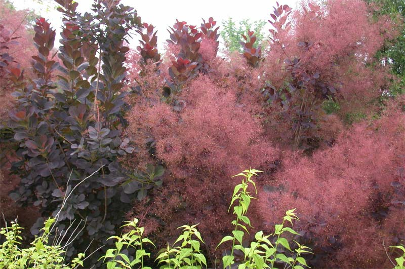 cotinus-royalpurple-06.jpg