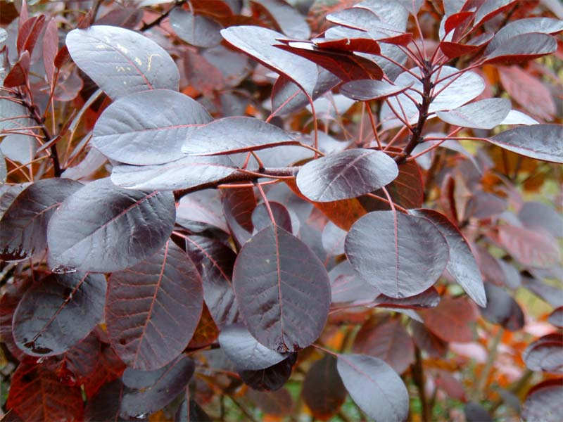 cotinus-royalpurple-07.jpg
