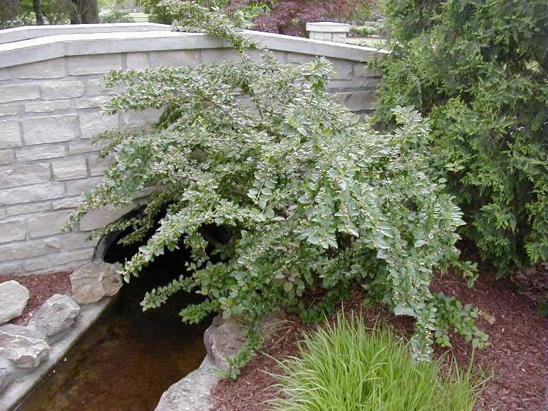 cotoneaster-lucidus-02.jpg