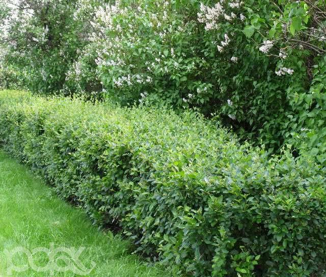 cotoneaster-lucidus-03.jpg