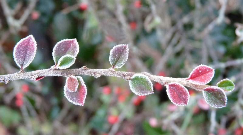 cotoneaster-lucidus-05.jpg