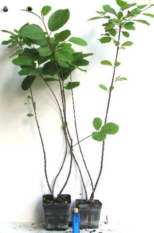 cotoneaster-lucidus-07.jpg