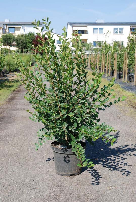 cotoneaster-lucidus-08.jpg