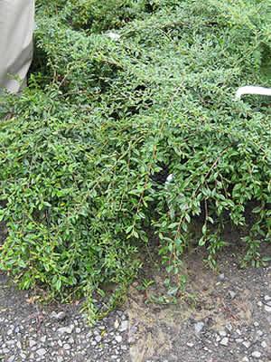 cotoneaster-adpressus-01.jpg
