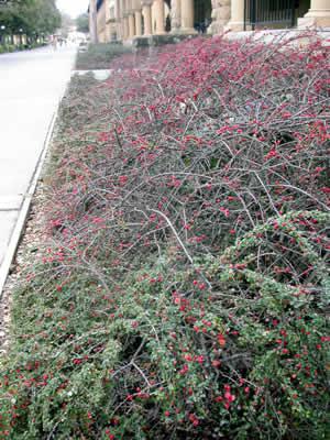 cotoneaster-adpressus-05.jpg