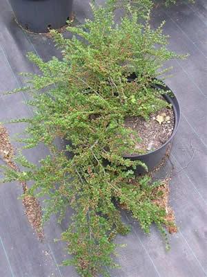 cotoneaster-adpressus-06.jpg