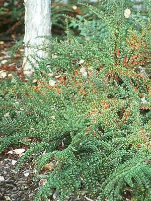 cotoneaster-adpressus-11.jpg