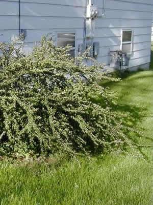 cotoneaster-divaricatus-01.jpg