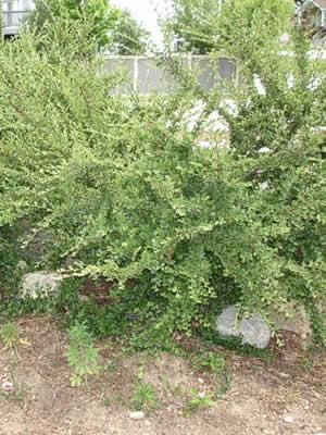 cotoneaster-divaricatus-02.jpg