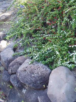 cotoneaster-divaricatus-03.jpg