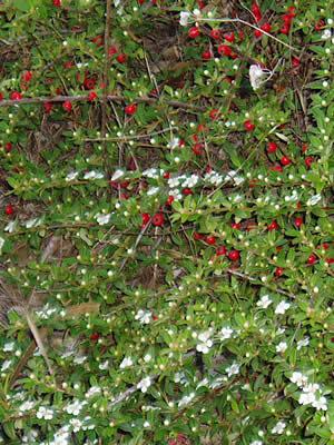 cotoneaster-divaricatus-04.jpg