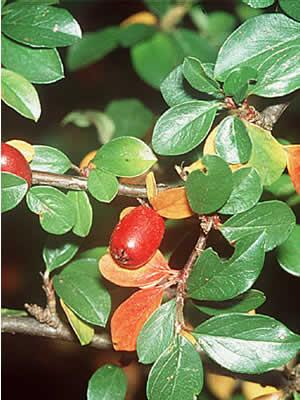 cotoneaster-divaricatus-05.jpg