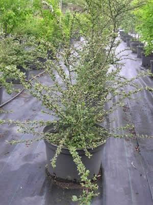cotoneaster-divaricatus-06.jpg