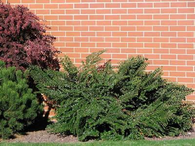 cotoneaster-horizontalis-07.jpg