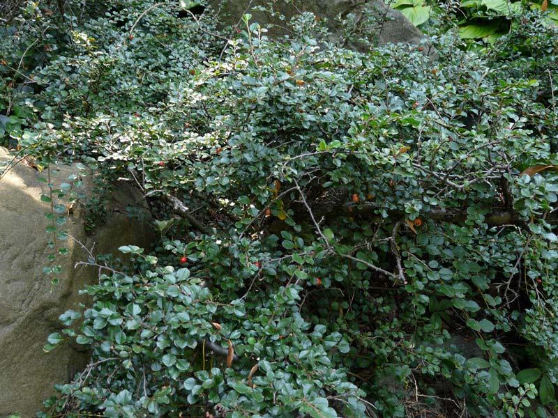 cotoneaster-horizontalis-09.jpg