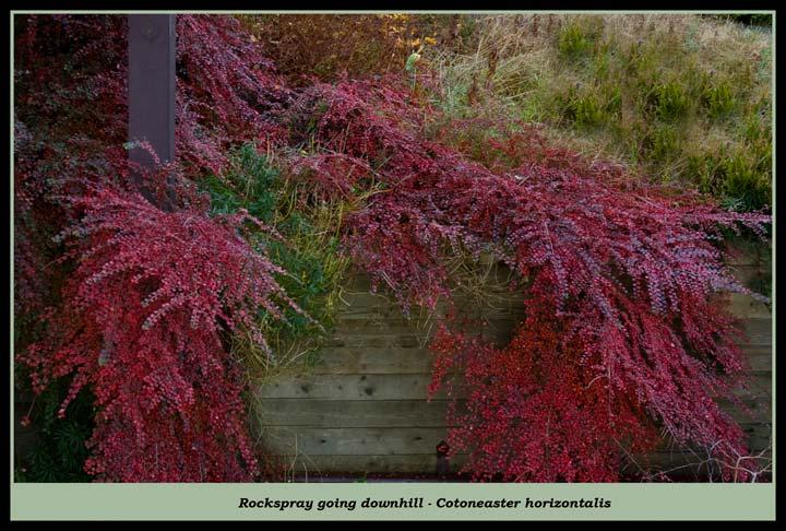cotoneaster-horizontalis-10.jpg