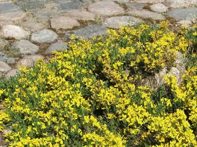 cytisus-decumbens-02.jpg