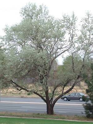 elaeagnus-angustifolia-01.jpg