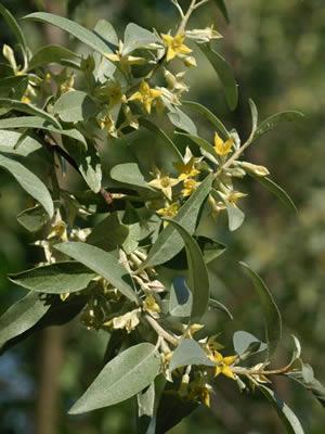 elaeagnus-angustifolia-03.jpg