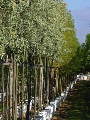 elaeagnus-angustifolia-04.jpg