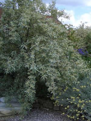 elaeagnus-argentea-02.jpg