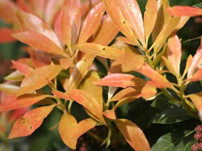 euonymus-nana-04.jpg